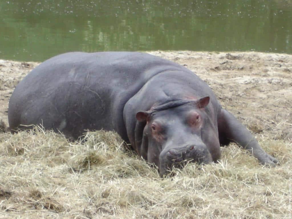 Hippopotame couché dans la paille